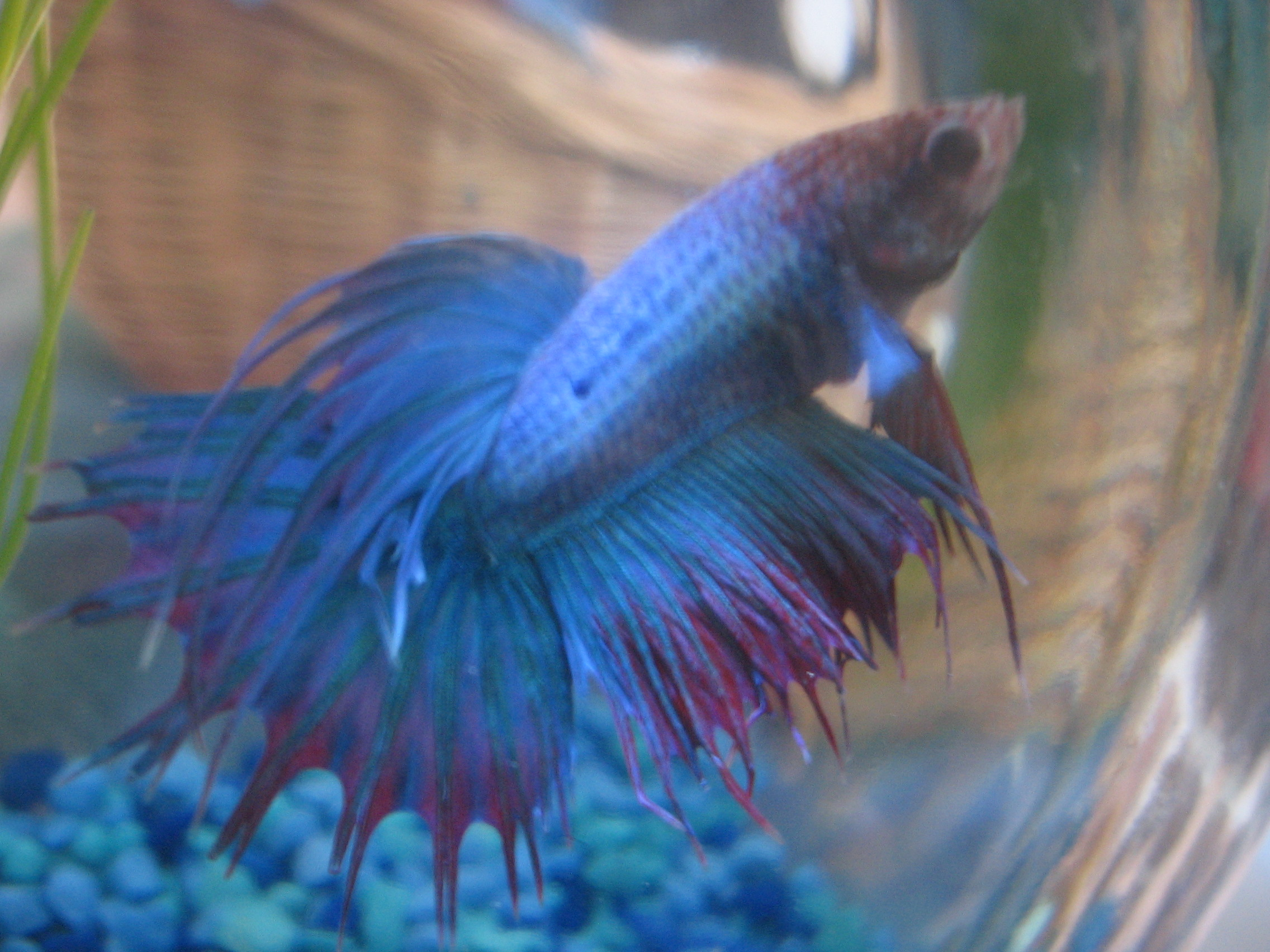 how to kill a dying betta fish