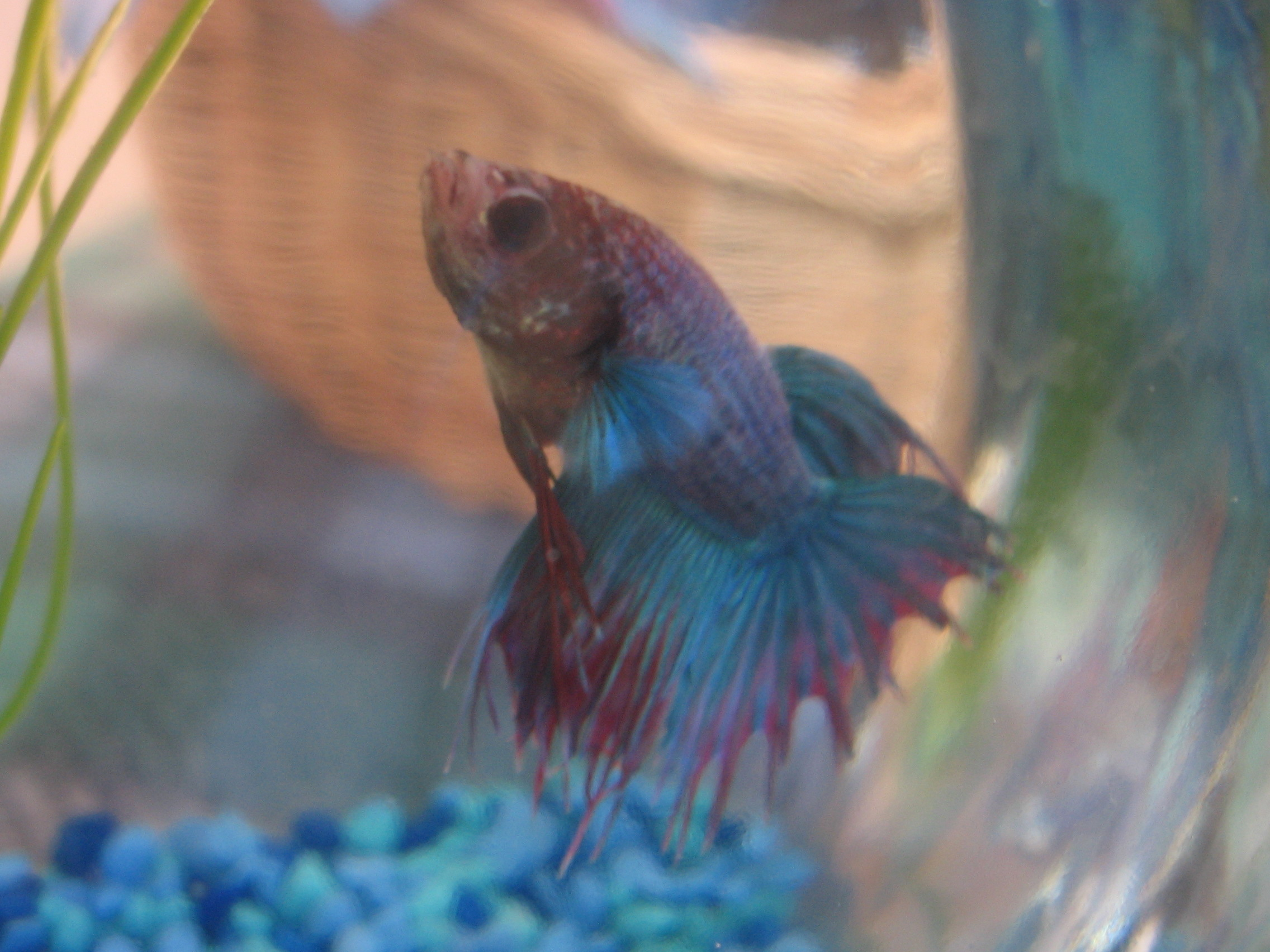 How to kill a betta in two weeks the daily hodgepodge for Betta fish life span